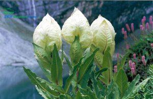 brahma-kamal-flower-uttarakhand-state-flowerब्रह्मकमल-फूल